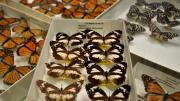 Several introduced butterfly specimens in their storage box