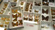 Several native Australian butterfly specimens in their storage box