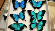 Six foreign swallowtail butterfly specimens in their storage box
