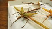 Three stick insects in their storage box