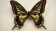 A foreign swallowtail butterfly specimen