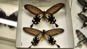 Two foreign swallowtail butterfly specimens in their storage box