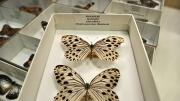 Two foreign butterfly specimens in their storage box