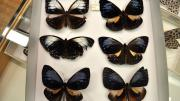 Six foreign butterfly specimens