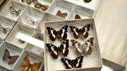 Five foreign butterfly specimens in their storage box