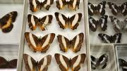 Eight foreign butterfly specimens in their storage box