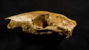 Kangaroo ancestor skull