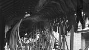 A large whale skeleton sits inside a shed.