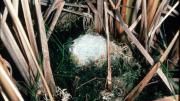 Foam nest in the water