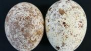 Typical clutch of two eggs showing differences in coloration (darker egg laid first).