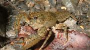 A freshwater crayfish in the wild