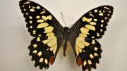 A native Australian swallowtail butterfly specimen