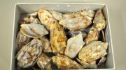 Foreign volute specimens in their storage box