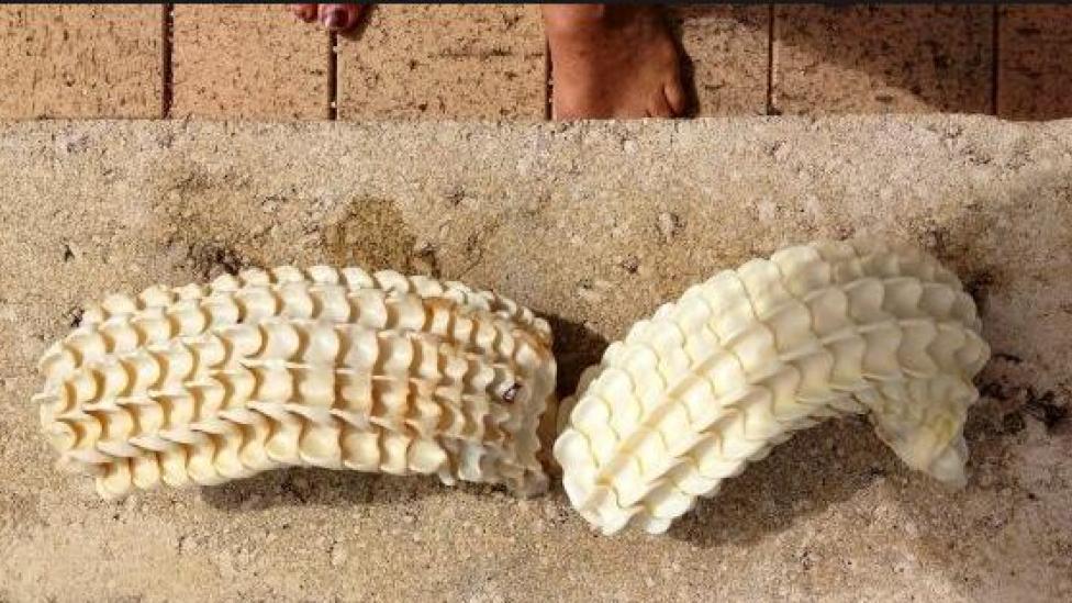 the white egg-cases of a marine snail, Syrinx aruanus