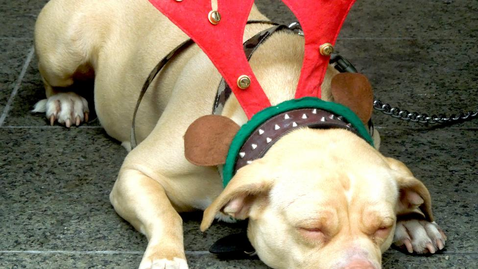 Image of sleeping dog dressed in a pair of red antlers with bells in Perth CBD