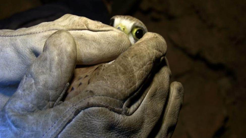 A live Kestrel trapped in the caves Image copyright WA Museum