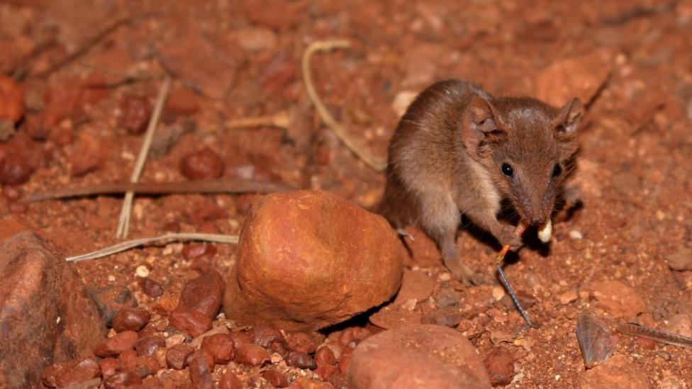 a tiny brown mammal eats a moth on red stony soil