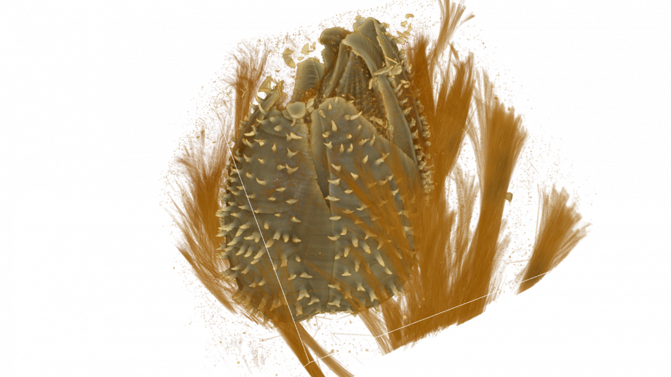 A micro-CT scan of a sponge barnacle inside its host sponge. most of the sponge tissue has been removed from the image revealing the barnacle within.