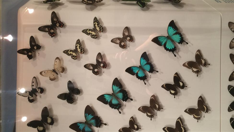 Australian Butterflies - Swallowtails and Birdwings