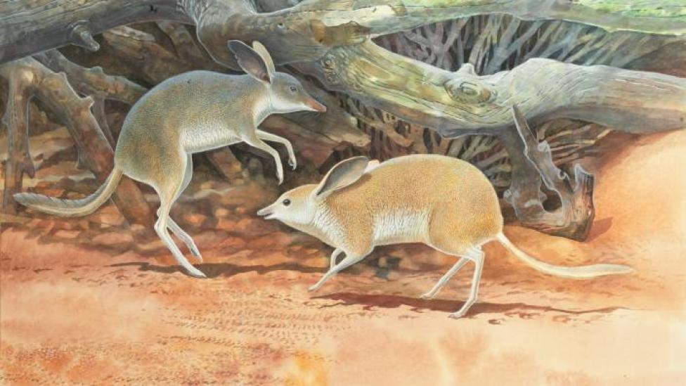 Chaeropus yirratji, a newly discovered species of pig-footed bandicoot, illustrated by Peter Schouten.