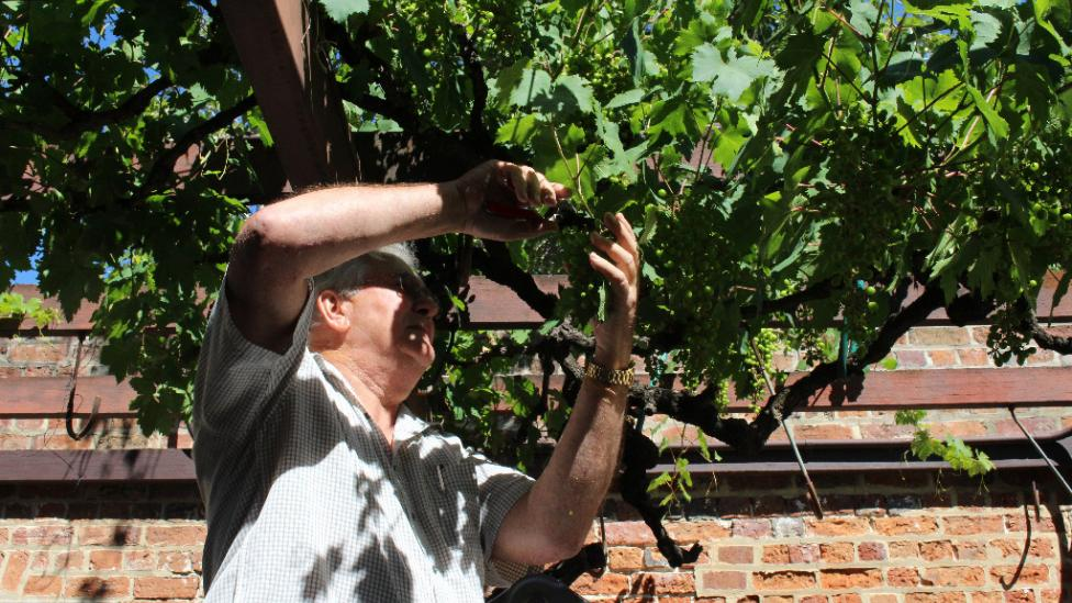 Man stands on ladder reaching to prune grapevine.