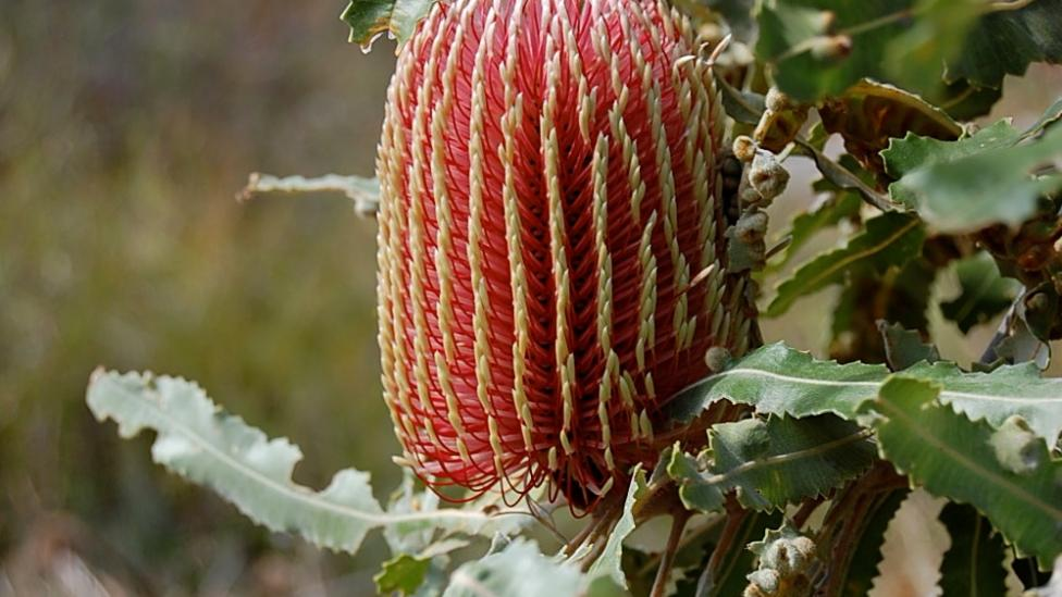 Cone shaped flower with red prongs with yellow tips in a bushland.