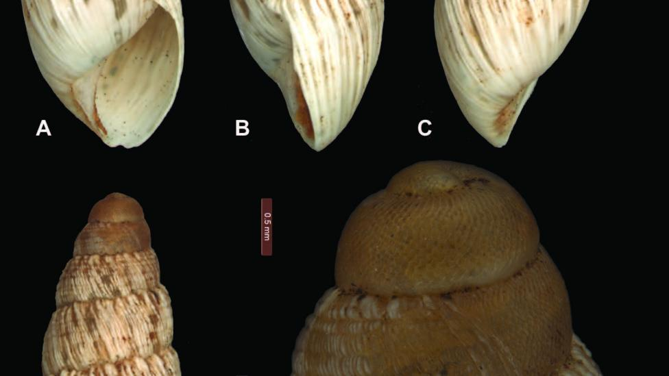 """Bothriembryon (B.) sophiarum sp. n. A–D holotype WAM S66478 (H = 14.4 mm) E Protoconch and early teleoconch sculpture; scale line 0.5 mm."""