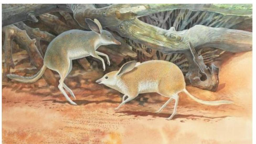 Australian Pig-footed Bandicoot illustration by Peter Schouten