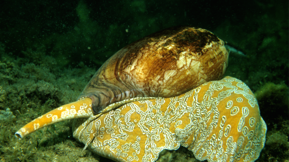 Image of a live Baler Shell moving along the ocean floor.