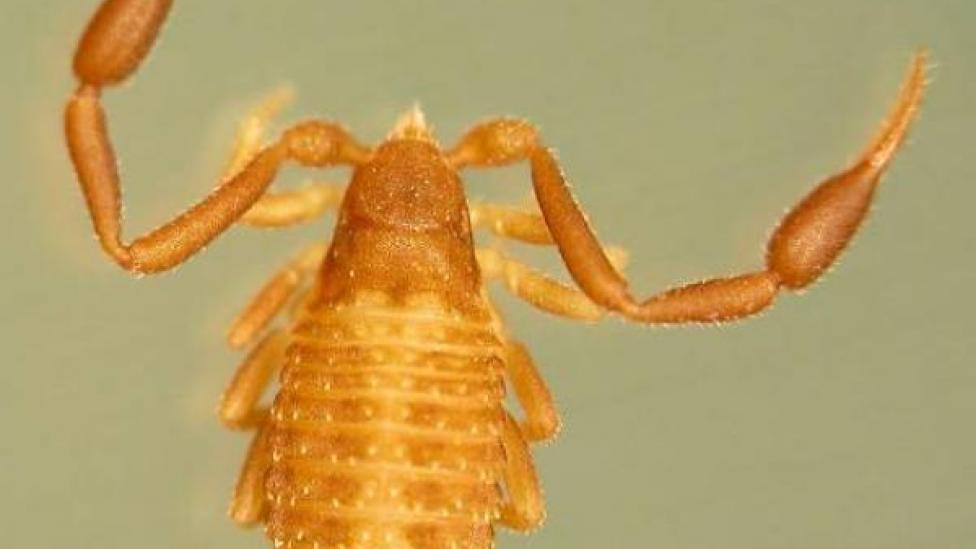 A pseudoscorpion from the the Synsphyronus family - Synsphyronus elegans