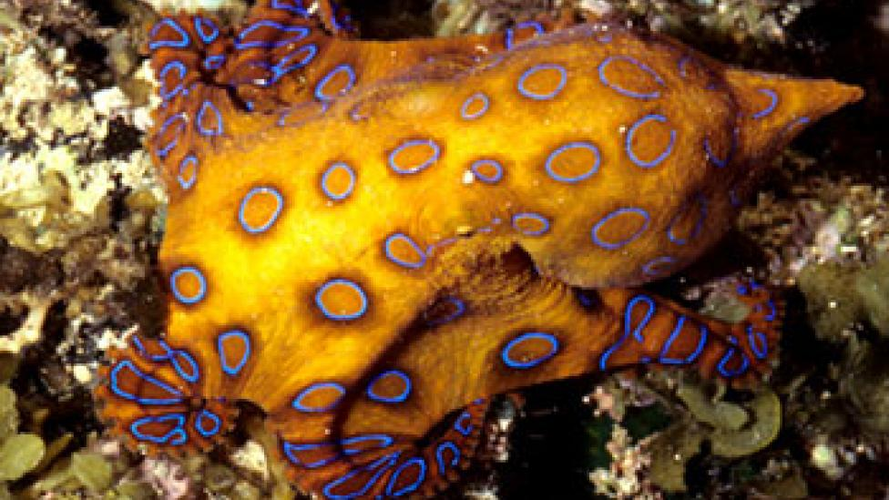 A Blue Ringed octopus swimming through coral reef