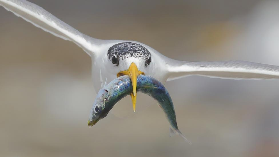 One of the photos in the winning portfolio, A Fishy Present by Georgina Steytler, Western Australia. Shows a crested tern flying while carrying a fish.