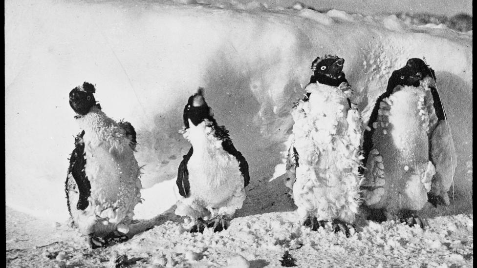 Four moulting penguins standing in a line