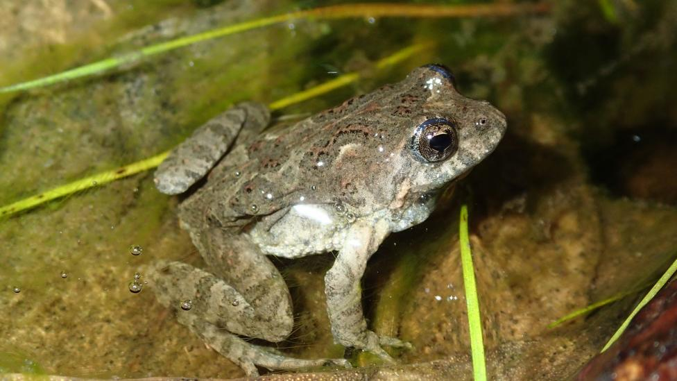 Bleating froglet (Crinia pseudinsignifera) in water