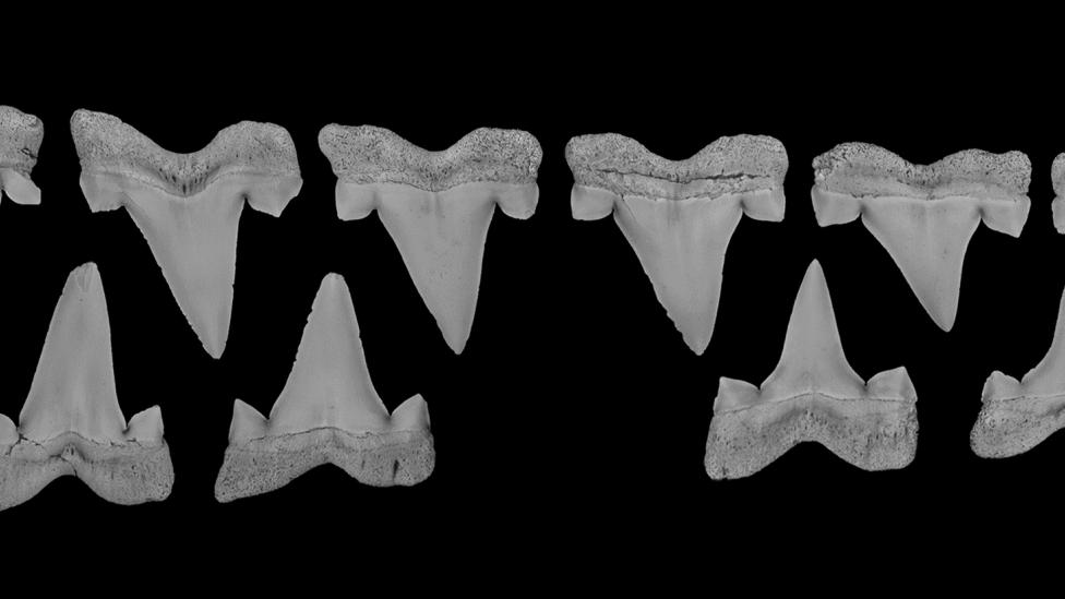 A series of ancient shark teeth assembled in a line