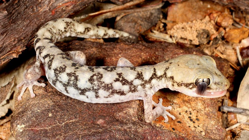 A small spotted and well camouflaged lizard on a rocky surface