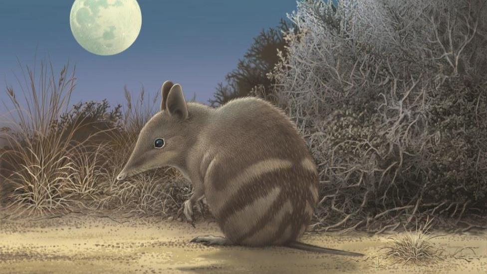 Artwork showing what the extinct Butterfly Bandicoot would have looked like.