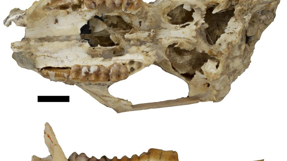 Fossil skull and jaw of the giant bettong, Gumardee springae. Scale = 1cm. Courtesy Dr Kenny Travouillon