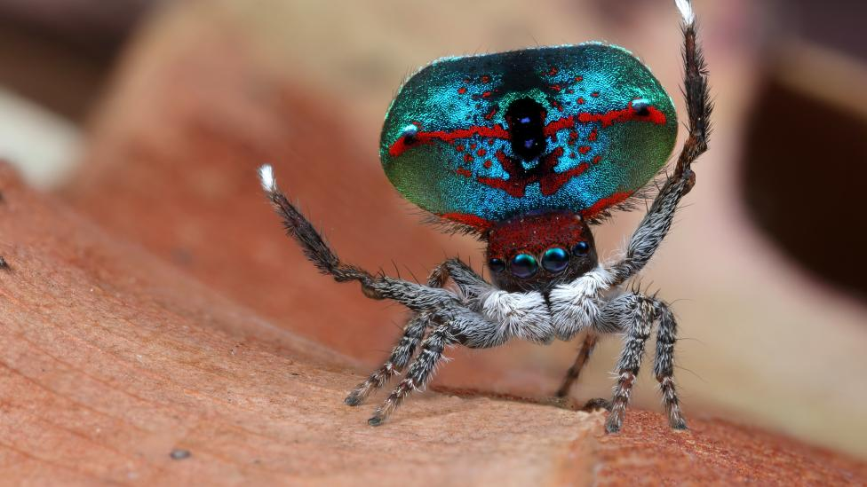 Maratus mungaich with his front legs up in the air