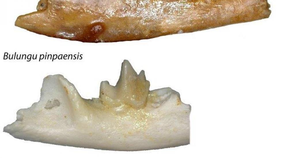 Fossils of three new bandicoot species