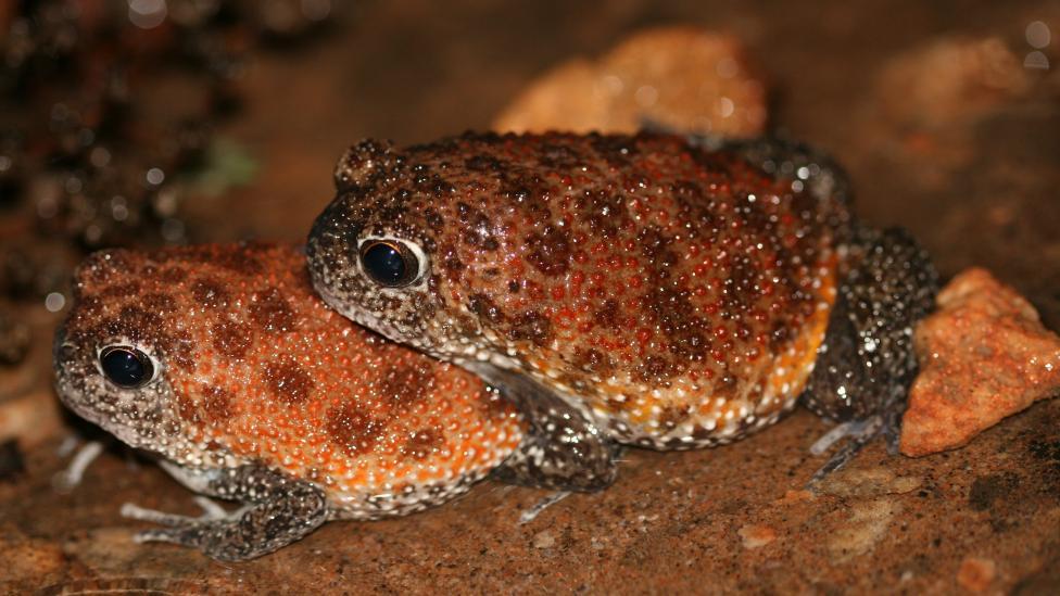 Image of a Kimberley Spadefoot pair