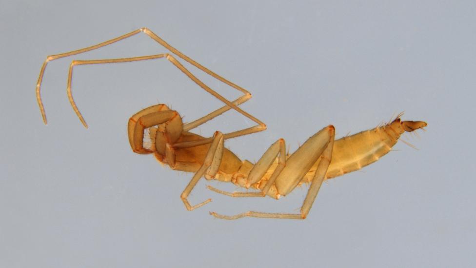 Male Draculoides anachoretus