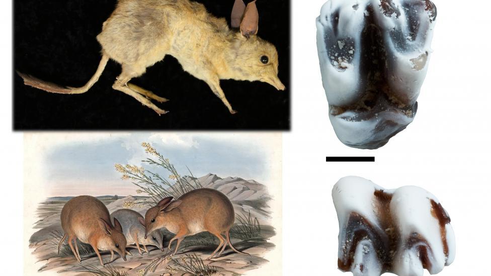 Top left – Specimen of Chaeropus ecaudatus from the Australian Museum. Bottom left – Reconstruction of Chaeropus ecaudatus by John Gould. Right – Upper and lower molar of the fossil Pig-footed bandicoot, Chaeropus baynesi. Scale = 1mm.