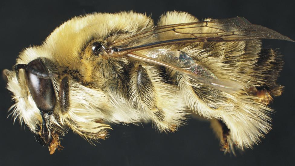 Close up view of a new species of bee