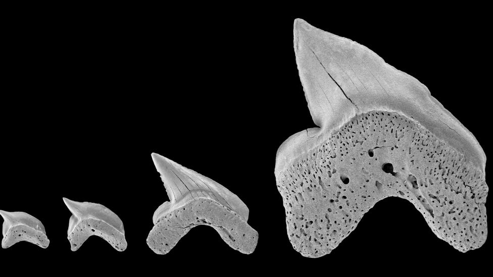 Four rare fossil teeth, probably ranging in size from newborn to adult animals, from the previously undiscovered shark, Squalicorax mutabilis