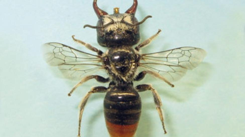 A new species of bee with giant jaws