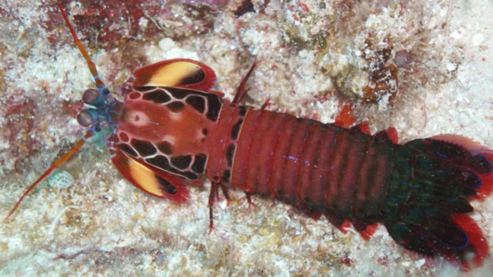 A colour peacock shrimp resting on the ocean floor