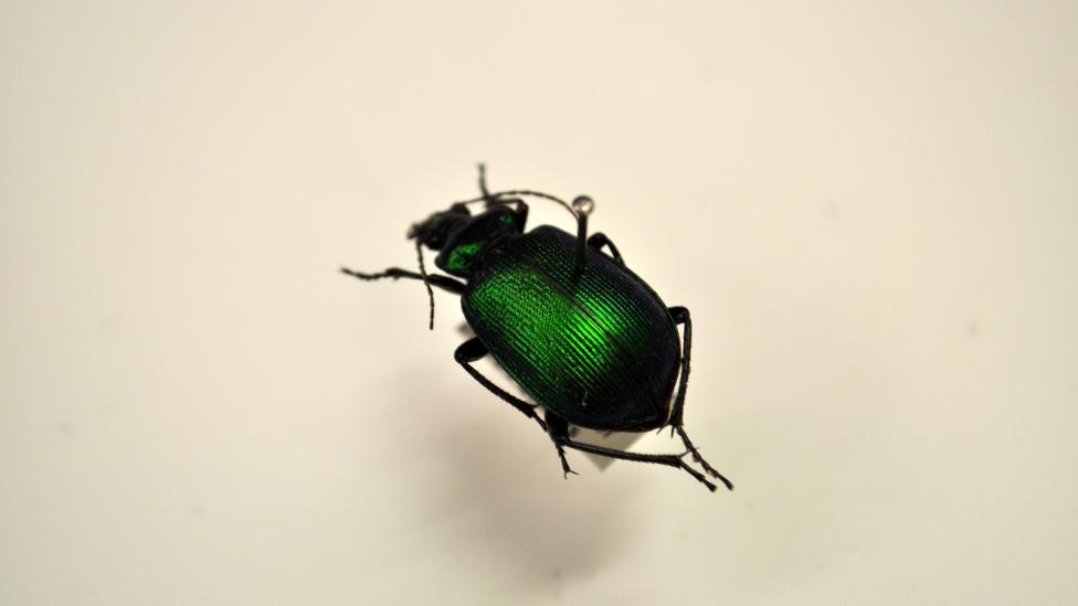 Calosoma schayeri, Native Australian beetle which belongs to the family Carabidae, subfamily Carabinae