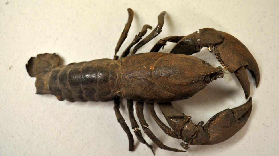 #1 This freshwater crayfish belongs to the species Cherax preissi which is usually dark coloured, ranging from brown-black to blue-black.