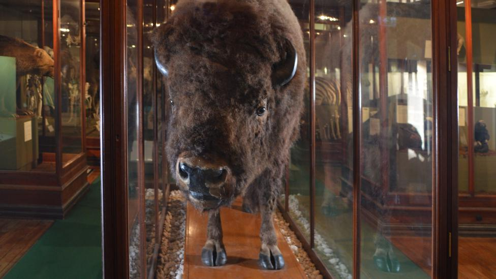 A taxidermied specimen (American Bison) on display behind a glass case in the Mammal Gallery